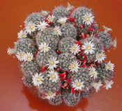 Blooming cactus Mammillaria Stock Image