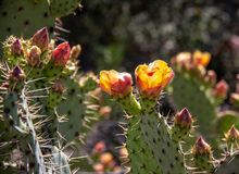 Blooming Cactus in O`Neill Regional Park stock photos