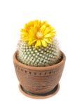 Blooming cactus Parodia mutabilis. Cactus Parodia mutabilis with yellow flowers in pot on white Royalty Free Stock Image