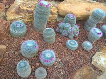 Blooming cactus. On pebbles and rocks stock image