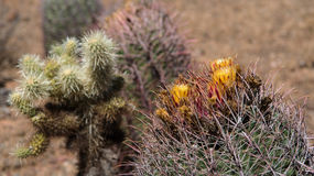 Blooming Cactus at the Phoenix Sonoran Preserve Royalty Free Stock Photo