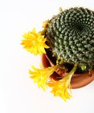 Blooming cactus plant Stock Photo
