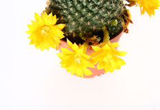Blooming cactus plant Stock Photos