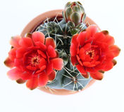 Blooming cactus plant Royalty Free Stock Photo