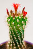 Blooming cactus Royalty Free Stock Images