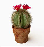 Blooming Cactus With Purple Flower Royalty Free Stock Image