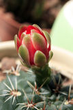 Blooming cactus Stock Photography