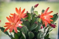 Blooming cactus with red flowers. On window sill, close up shot Royalty Free Stock Image