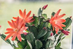 Blooming cactus with red flowers. On window sill, close up shot Stock Photography