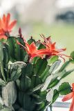 Blooming cactus with red flowers. On window sill, close up shot Stock Photos