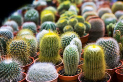 Blooming cactus on sale. In the shop royalty free stock image