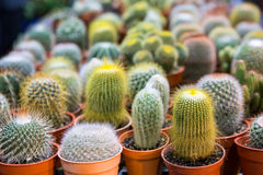 Blooming cactus on sale. In the shop stock photo