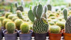 Blooming cactus on sale. In the shop royalty free stock images