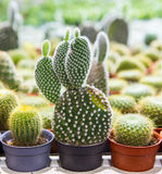 Blooming cactus on sale. In the shop royalty free stock photos