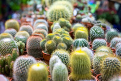 Blooming cactus on sale. In the shop royalty free stock photo