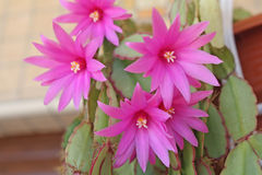 Blooming cactus. Royalty Free Stock Photo