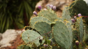 Blooming cactus. The south coast of Crimea stock video footage