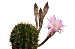 Blooming cactus with unsolved buds Stock Photos