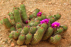 Blooming cactus Royalty Free Stock Photos