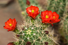 Blooming cactus Royalty Free Stock Photo