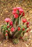 Blooming cactus Royalty Free Stock Photos