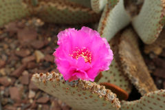 Blooming cactus Royalty Free Stock Image