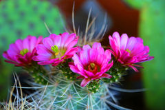 Blooming cactus. Vibrant blooming pink flowers from a cactus plant royalty free stock photo