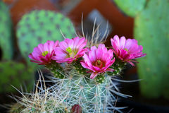 Blooming cactus. Vibrant blooming pink flowers from a cactus plant stock images