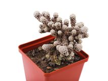 A blooming cactus was covered with white moss in a flower pot. Isolated. stock photos