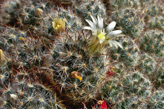 Blooming cactus on the window. Royalty Free Stock Image