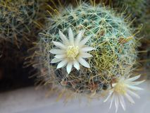 Blooming cactus on the window stock photo