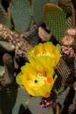 The blooming cactus. The blooming yellow flower on the cacti in the Southern Californian desert stock photos