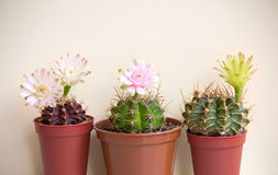 Blooming cactuses Royalty Free Stock Image