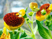 Blooming calceolaria Stock Images