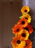 Blooming calendula Stock Images