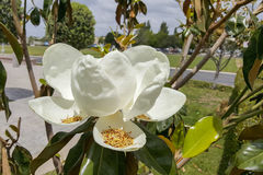 Blooming California Magnolia on a Cloudy Day Stock Image