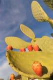 Blooming California Opuntia Cacti Common Western Cactus Prickly Stock Photos