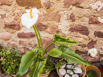 Blooming Calla lilies on a background of old stone walls Royalty Free Stock Images