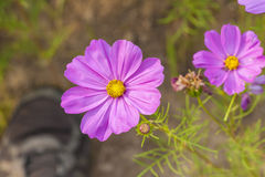 Blooming calliopsis Royalty Free Stock Photography