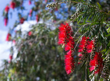 Blooming Callistemon viminalis in spring Royalty Free Stock Image