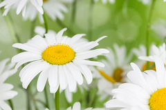 Blooming camomile flowers Royalty Free Stock Photos