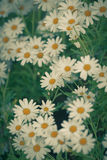 Blooming Camomile flowers at flowerbed Royalty Free Stock Image