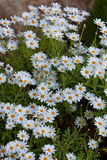 Blooming Camomile flowers at flowerbed Royalty Free Stock Images