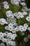 Blooming Camomile flowers at flowerbed Stock Images