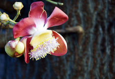 CANNON BALL FLOWERS. Blooming Cannon ball flowers in Thailand Royalty Free Stock Photo