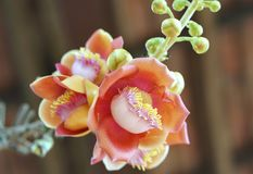Blooming cannon ball tree, this flower`s scientific name is couroupita guianensis. Flower of religion and is grown in the tropics Stock Photos