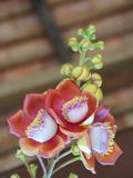 Blooming cannon ball tree, this flower`s scientific name is couroupita guianensis. Flower of religion and is grown in the tropics Royalty Free Stock Image
