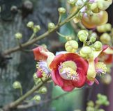 Blooming cannon ball tree, this flower`s scientific name is couroupita guianensis. Flower of religion and is grown in the tropics Royalty Free Stock Photos