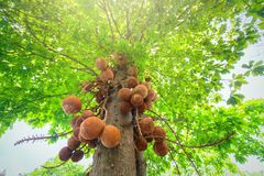 Blooming cannon ball tree, this flower`s scientific name is couroupita guianensis. Flower of religion and is grown in the tropics Royalty Free Stock Photo
