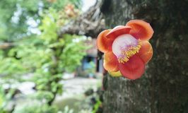 Blooming cannon ball tree, this flower`s scientific name is couroupita guianensis. Flower of religion and is grown in the tropics Stock Image